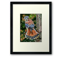 American Kestrel In My Garden Framed Print