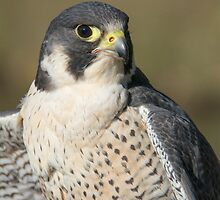 Peregrine Falcon Portrait by M.S. Photography/Art