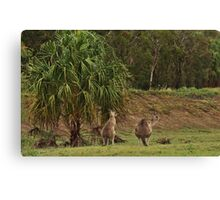 Kangaroos in Tropical Queensland Canvas Print