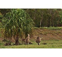 Kangaroos in Tropical Queensland Photographic Print