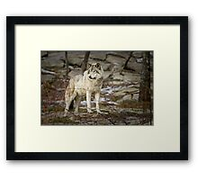 Timber Wolf on Guard Framed Print