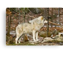 Solitary Timber Wolf Canvas Print