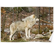 Solitary Timber Wolf Poster
