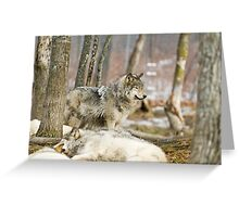 Watchful Timber Wolf Greeting Card