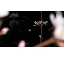Bokeh Cherry Blossoms at Night Photographic Print