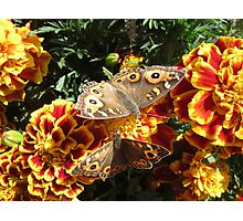 Meadow Argus Butterflies Photographic Print