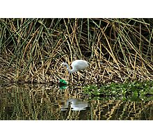 Great White Heron Next to Discarded Can Photographic Print