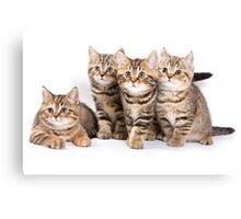 Fluffy little tabby kitten British cat Canvas Print