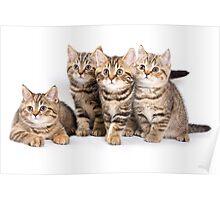 Fluffy little tabby kitten British cat Poster