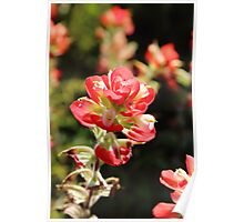The Indian Paint Brush Poster