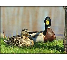 Mr. and Mrs. Mallard Duck Photographic Print
