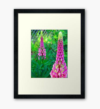 Luscious Lupin Framed Print