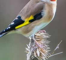 Goldfinch on Dead Teasel Sticker