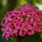 Pink Pentas - close up  by Margaret Stanton