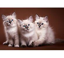 White cute fluffy kitten Siberian cat Photographic Print