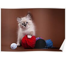 White cute fluffy kitten Siberian cat Poster