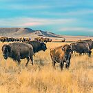 Buffalo Bunch (Wyoming) by Jerry Walter