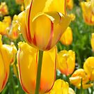 Field of Yellow Tulips by Colleen Drew