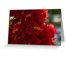 My Fabulous Tropical Valentines Gift - Vivid Red Bougainvillea Greeting Card