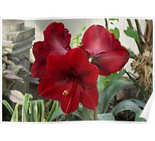 Christmas Red Amaryllis Flowers Poster