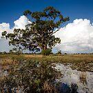 Baradine Storm Tree by David Haworth
