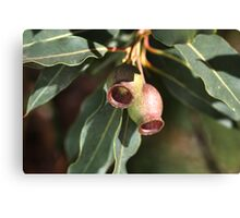 Gumnuts of Australia Canvas Print