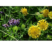 Yellow flowers, natural background. Photographic Print