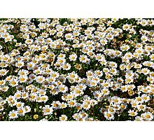 Beautiful natural background with small white flowers. Photographic Print