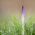 Bejeweled Crocus by Tracy Friesen
