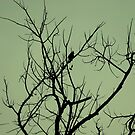 Racket-tailed drongo by Amrita Neelakantan
