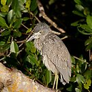 Juvenile Night Heron by Brenda Dow
