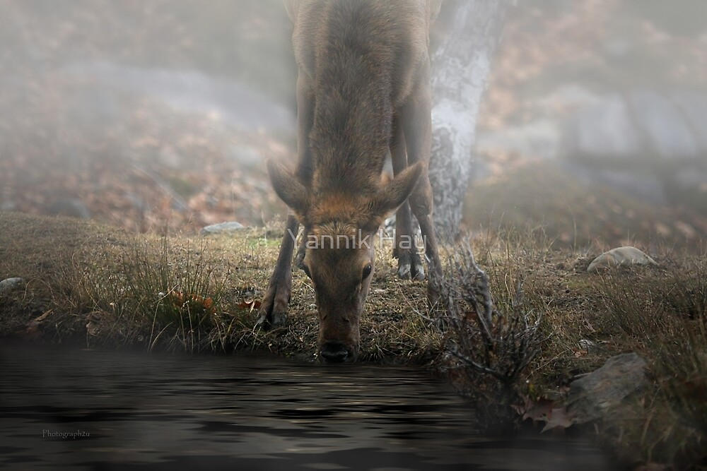 Thirsty Fawn by Yannik Hay