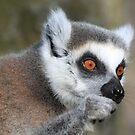 The ring-tailed lemur (Lemur catta) by DutchLumix