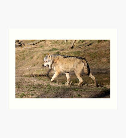 The Eurasian wolf (Canis lupus lupus) Art Print