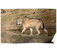 The Eurasian wolf (Canis lupus lupus) Poster