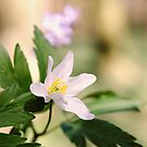 Wood Anemone by JEZ22