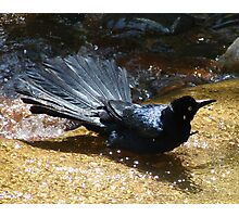Mischievious Splashing GRackle CROW in the Water Photographic Print
