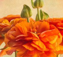 Sunny orange ranunculus blossoms Sticker
