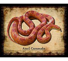 Amel Cornsnake Photographic Print