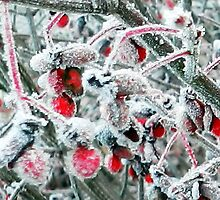 Frosted Euonymus Berries by Annlynn Ward