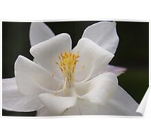 Pure White Columbine Poster