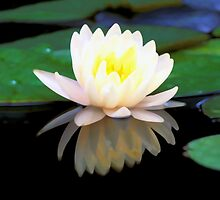 Lovely Waterlily by Makanahele