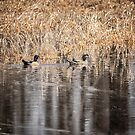 Wood Ducks 2016-1 by Thomas Young