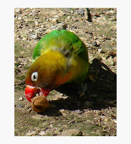 BEAUTIFUL FISCHER BIRD EATING NUT Photographic Print