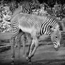 Zebra by Tracey Hampton