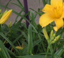 Yellow Lilly                                                       Pentax X-5 16 MP Sticker