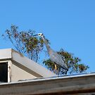 White Faced Heron taken a shine to our roof. Native bird. by Rita Blom