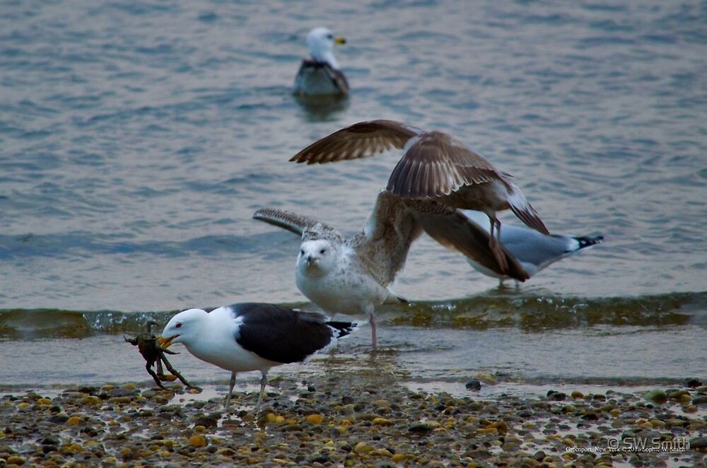 Larus Marinus - Great Black-Backed Gull Eating A Crab | Greenport, New York by © Sophie W. Smith