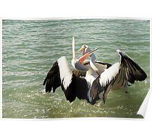 Pelican fight / Urunga NSW Poster