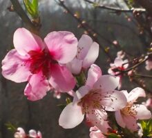 Peach Blossoms Sticker
